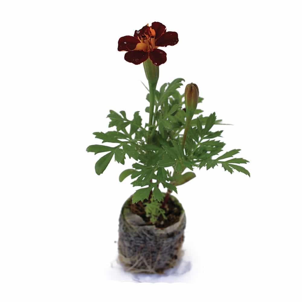 Organic Marigold Seedlings Tower Garden Marigold Aeroponic